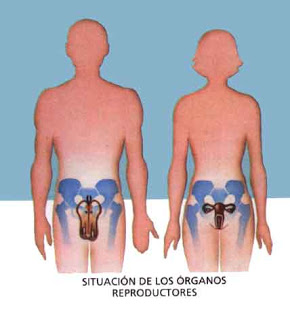 organosreproductores